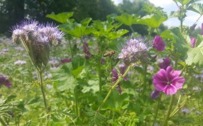 Blühflächen im Land Brandenburg wachsen und wachsen