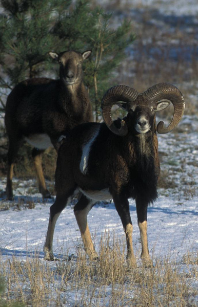 Muffelwild im Winter (Stoecker)