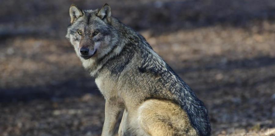 """Der Wolf darf nicht das """"goldene Kalb"""" sein"""