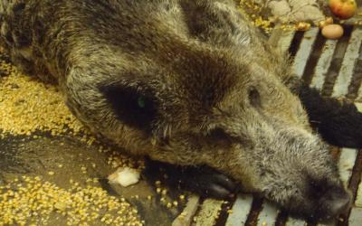 Landesregierung appelliert an Jäger tot aufgefundene Wildschweine zu beproben