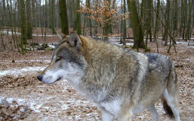 Erstmalig landesweite Wolfswachen in Brandenburg
