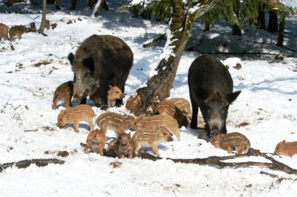 wildschweinjungeniesters08_0-e1579525988880