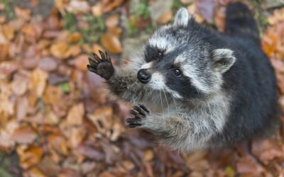 EU-Liste invasive Arten: Jäger fordern Unterstützung