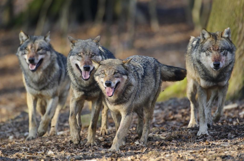 Initiative WOLF BLEIBT WOLF in BRANDENBURG