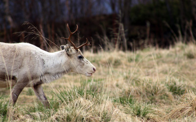 Chronische Auszehrkrankheit in Skandinavien: Was Jäger wissen sollten