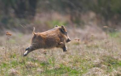 Was tun, wenn ein Wildschwein kreuzt?