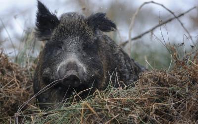 Früherkennung der Afrikanischen Schweinepest (ASP) beim Schwarzwild