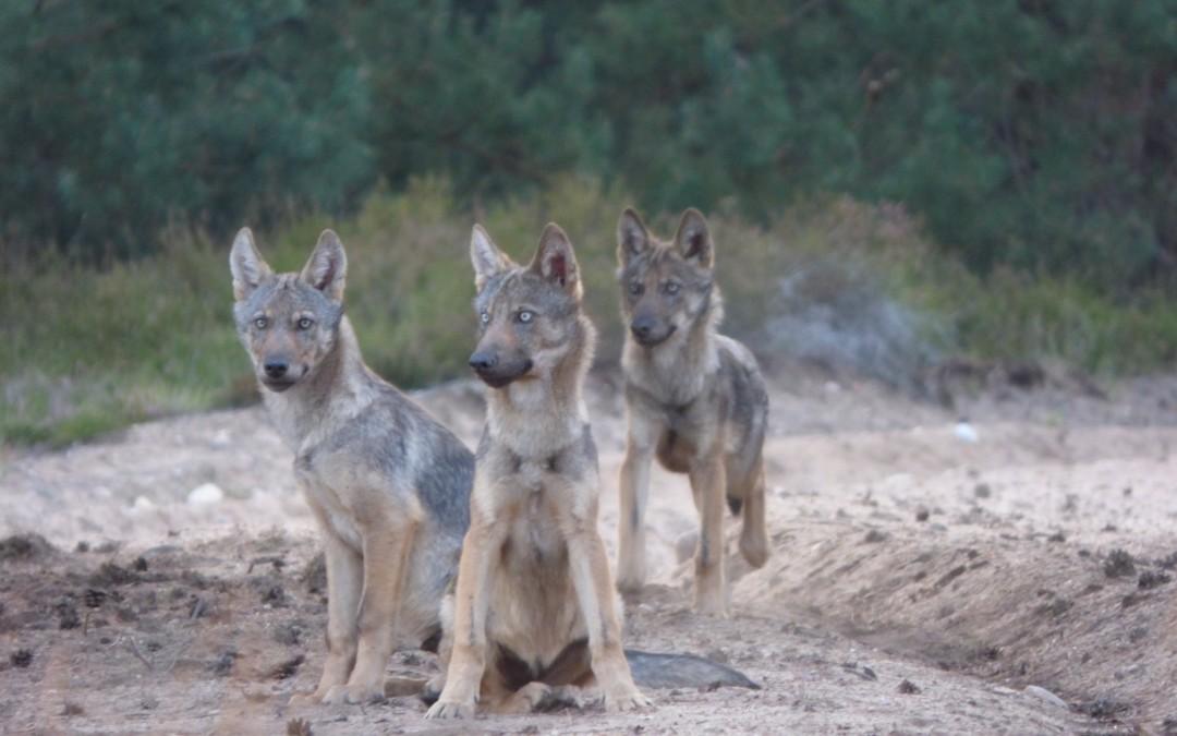 Wölfe derzeit auf Brautschau