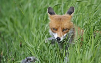 Auf der Jagd gegen die Tollwut