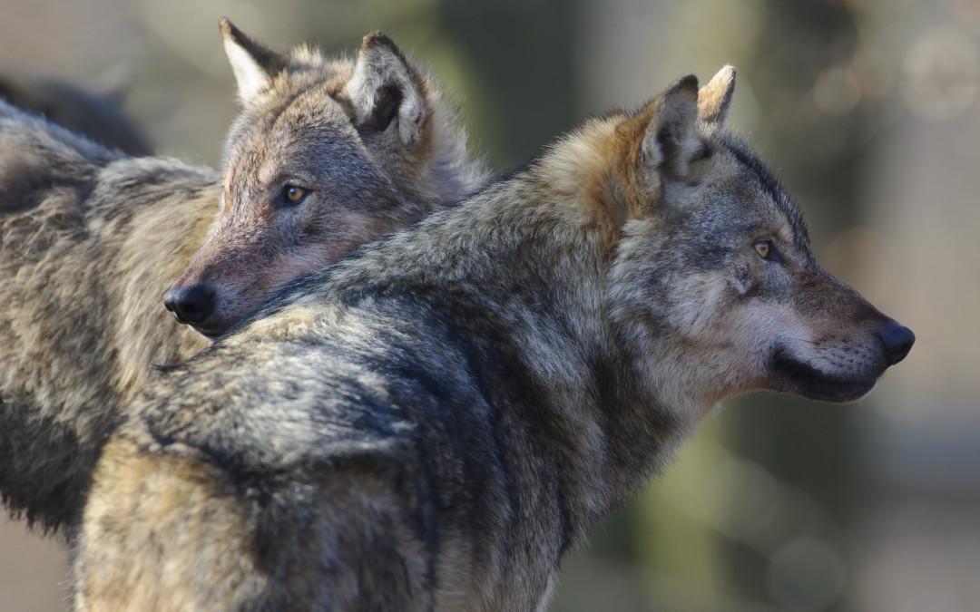 Wolfsmanagement: Bestandsentwicklung wird völlig unterschätzt