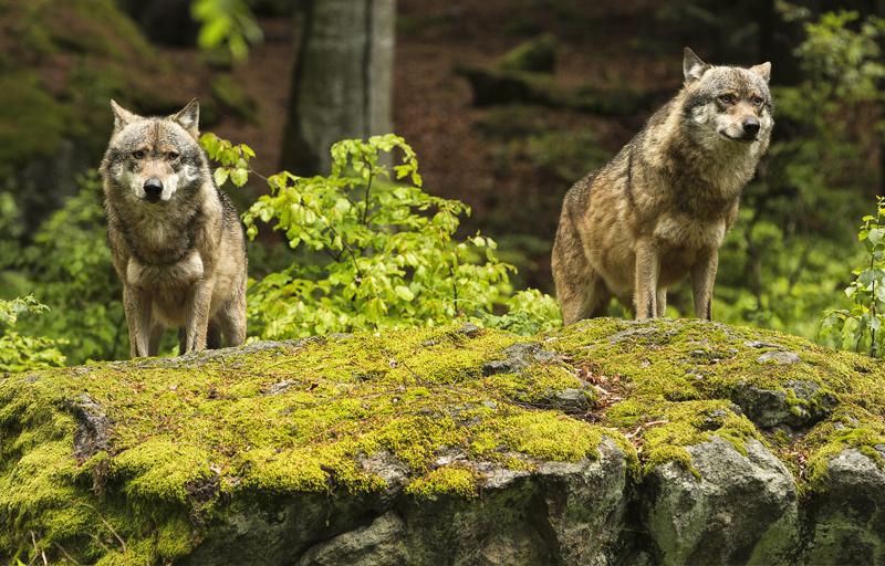 Bund lässt Brandenburg beim Wolf im Stich – Vogelsänger muss die UMK für klare Worte nutzen!