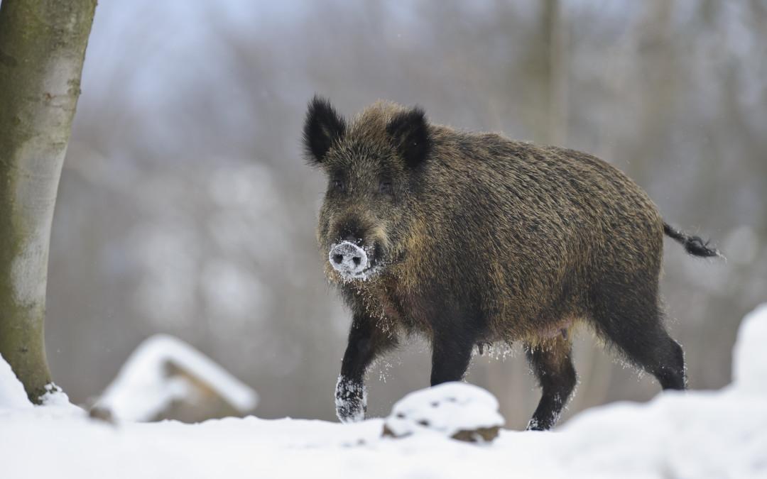 Afrikanische Schweinepest: Verdachtsfall in Potsdam nicht bestätigt
