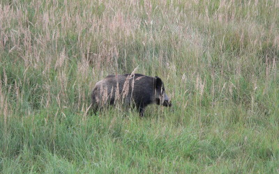 Afrikanische Schweinepest in Belgien nachgewiesen