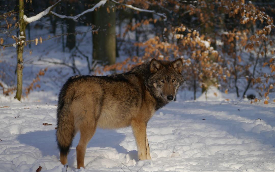 Neue Wege im Wolfsmanagement gehen