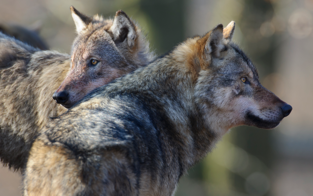 Wolf greift Jagdhunde im Einsatz an und wird getötet