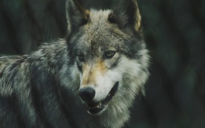 "Initiative ""Wolf bleibt Wolf"" auch in Brandenburg!"