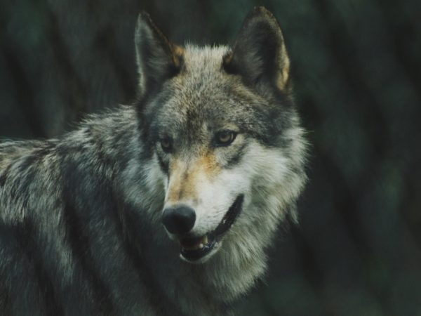 "Initiative ""Wolf bleibt Wolf"" auch in Brandenburg! - Landesjagdverband Brandenburg e.V."