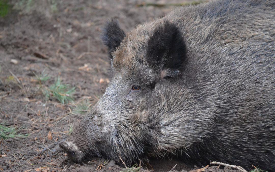 Afrikanische Schweinepest in Frankfurt (Oder)