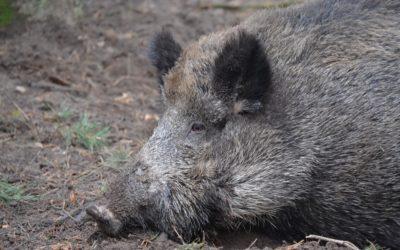 Afrikanische Schweinepest nähert sich Deutschland aus dem Osten