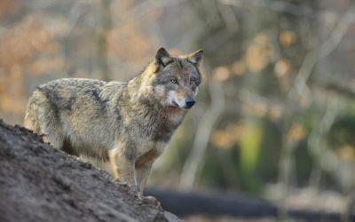 Wolfsschütze freigesprochen