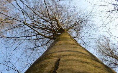 Ein Blick in die Wipfel –  am 25. April ist Tag des Baumes