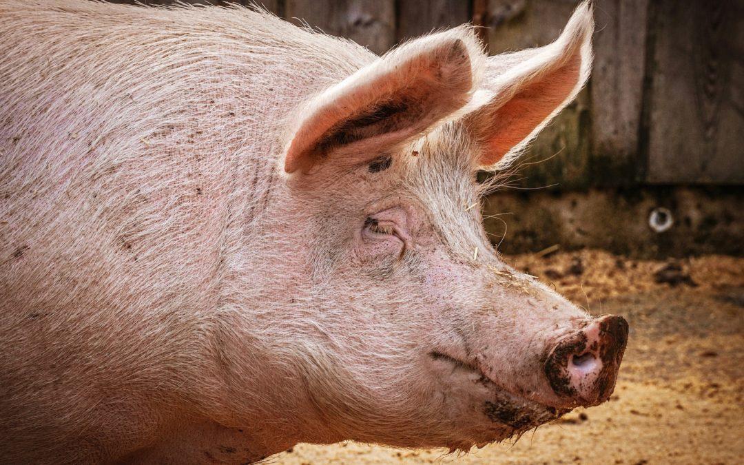 Erstmals Afrikanische Schweinepest in Brandenburger Hausschweinbestand